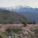 高遠城址公園の桜 満開